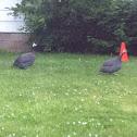 Helmeted guinnea fowl