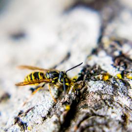 Wasp   Karissa Best Photography by Karissa Best - Animals Insects & Spiders ( karissa best, wasp, bee, nz, photography )
