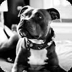 Pitbull Pack 4 Live Wallpaper
