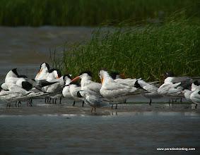 Photo: Forster's and Royal terns, Bolivar Flats Shorebird Sanctuary, upper Texas Coast
