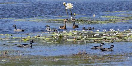 Photo: Day 3 -  Green Pygmy Geese at Anbangbang Billabong © Ian Morris