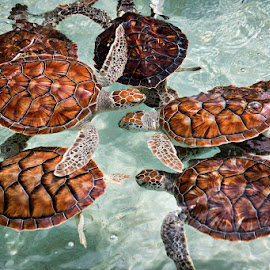 Tortugas by Sergio Yorick - Animals Reptiles ( turtles, in water, color, animal, reptile )