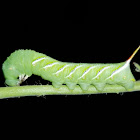 Carolina sphinx moth caterpillar, (3rd instar)