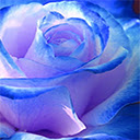 Blue Rose Wallpapers HD Theme