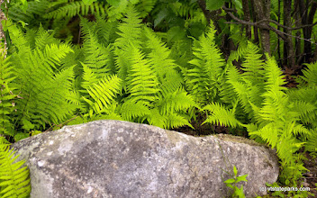 Photo: Ferns surround a boulder at Boulder Beach State Park by Paul Anderson