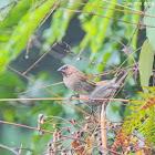 Lonchura punctulata 斑文鳥