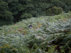 Photo: Sheep hiding in the ferns