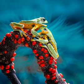 Frog, Flying Frog, Gliding Frog, Red, by Sulistyo Aji - Uncategorized All Uncategorized ( natural light, macrophotography, frog, macro photography, nature close up, insect, close up, close, natural beauty, macro, red, natu, nature, sigma, indonesia, nature up close, nature photography, nikon, frogs, natural )