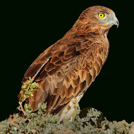 Cyrcaete JLB by Gérard CHATENET - Animals Birds