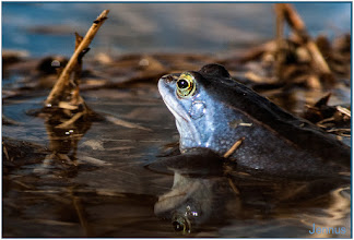 Photo: Moorfrosch Natur Wasser Frühling Frosch