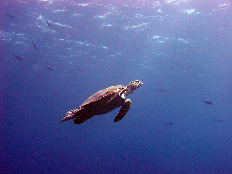 Photo: Green turtle (Chelonia mydas) surfacing for air in Ras Mohamed National Park
