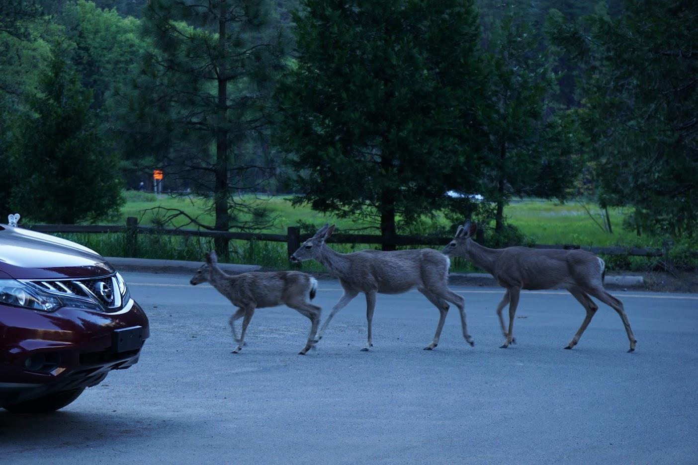 Yosemite Deers