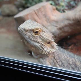 by Bradley Foot - Animals Reptiles ( pets, reptiles, reptile, lizard, pet )