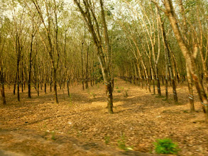 Photo: This is a young teak forest.  The wood takes about twenty-five years to mature and be harvested.
