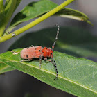 Red-femured milkweed borer