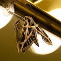 Vine sphynx moth