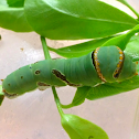 Lime Swallowtail Caterpillar