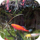 Koi Video Live Wallpaper FREE