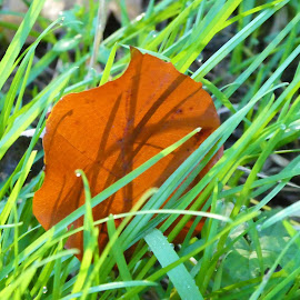 The autumn leaf on a green grass with backlight from a sun by Svetlana Saenkova - Nature Up Close Leaves & Grasses ( green grass, autumn colours, backlight, autumn leaves, autumn, leaf )