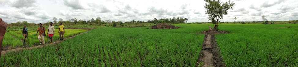 Photo: Abel Gbadomi's 1.5 ha SRI field. This was Abel's first time using SRI, and despite not having tried it before he had become convinced of its merits through a presentation by Jean Apedoh and a visit to Kokou Joseph Adokanou's field during a farm field exchange. A team of three laborers did the entire transplanting in 3 days, saying it was difficult at first, but after some practice proved to be quite fast. All SRI methods are followed, except use of herbicides, which Abel does due to a lack of rotary weeders, and the fact that he's doing such a large parcel for his first time. The following season he said he will experiment with mechanical weeding and see what difference it makes for plant growth and yields. Abel also noted that so far in this trial pest pressure was non-existent, which he attributed to SRI. Photo by Devon Jenkins, Togo, March, 2014.