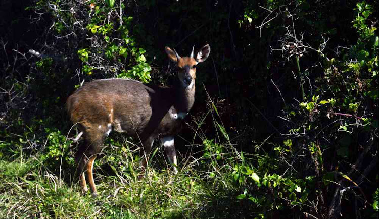 A bushbuck on the Waterfall Trail