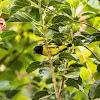 Yellow-bellied siskin