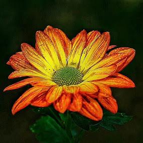Seruni by Slamet Mardiyono - Flowers Single Flower