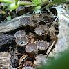 Splash Cups or Bird's-nest fungi or