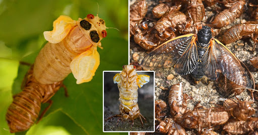 Massive swarm of cicadas emerge for first time after 17 years underground