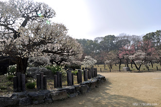 Photo: その2本が5~6輪開いた時点をもって大阪の梅の開花が発表されている。(2014,02,26)