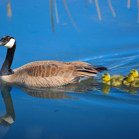 Tranquil by Lyn Daniels - Animals Birds (  )