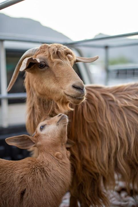 Kozi targ w Nizwie, Oman