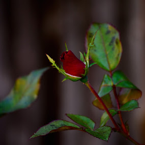 Red and Green by Raymond Umlas - Nature Up Close Flowers - 2011-2013 ( rose, nature, backyard, leaves )