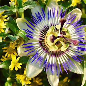Butchard flower 2 by Gabriela Zandomeni - Flowers Single Flower