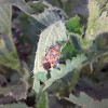 Scentless Plant Bug / Булавник беленовый
