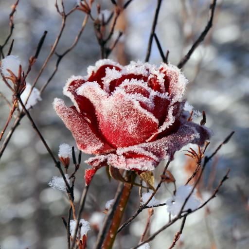 Winter Flowers Live Wallpaper