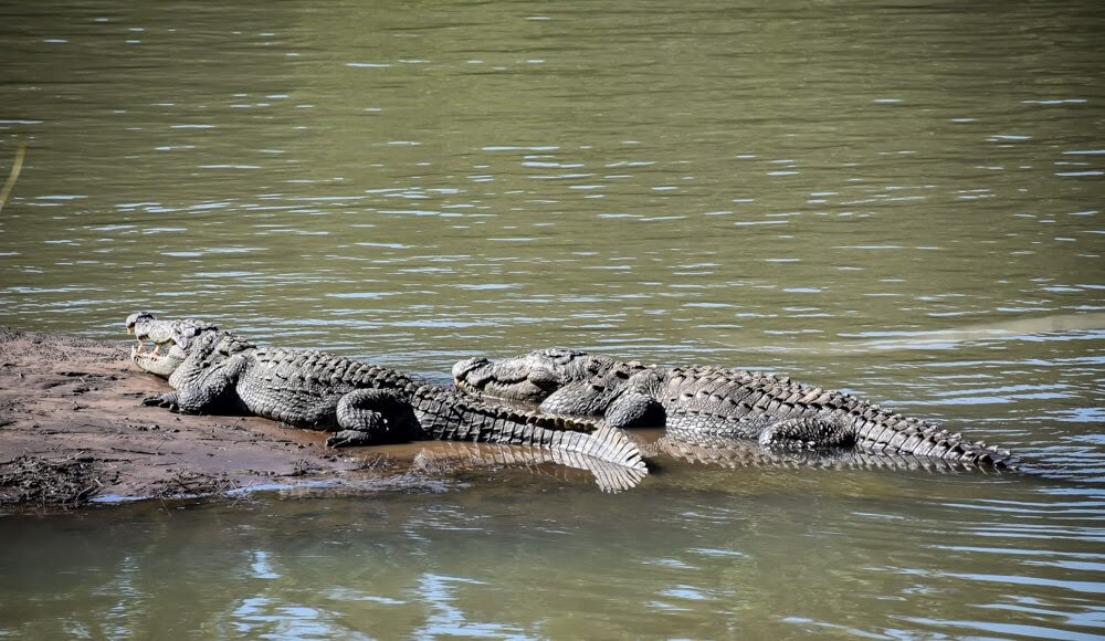 Crocodile basking in the sun in Kali nadi, Kali Resort