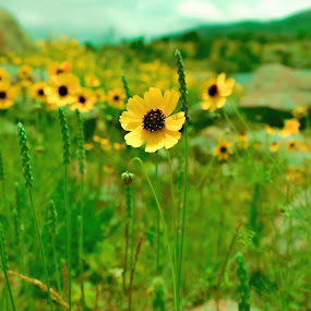 Black Eyed Susans by Barb Hauxwell - Flowers Flowers in the Wild ( yellow flowers, wichita mountains, green, meadow, yellow, flowers, black eyed susans )