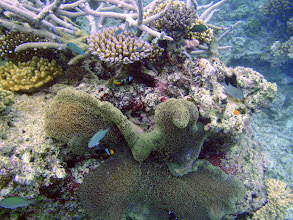 Photo: Amphiprion chrysopterus (Orangefin Clownfish) with Stichodactyla mertensii (Merten's Carpet Anemone), Naigani Island, Fiji
