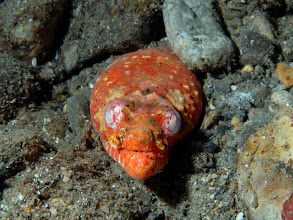 Photo: Henshaw's Snake Eel - Brachysomophis henshawi - Basura