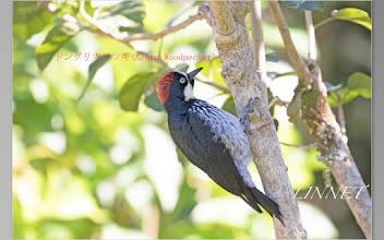 Photo: キツツキの仲間のドングリキツツキ(Acorn Woodpecker)です。  体長は約23cm位で、とてもユーモラスな顔つきをしています?  名前の由来は、木などに嘴で穴を開けてドングリを貯蔵することから  きています。  北アメリカ.中央アメリカ.南アメリカからコロンビアにかけて生息しています。
