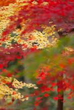 Photo: Autumn leaves, shot at the Jindaishokubutsukouen (Park) in Chofu, Tokyo.