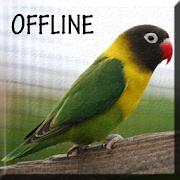 Suara Burung Lovebird Juara