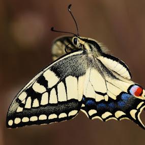 Kırlangıçkuyruk by Adem Yağız - Animals Other ( butterfly, kelebek, swallowtail, kırlamgıçkuyruk )