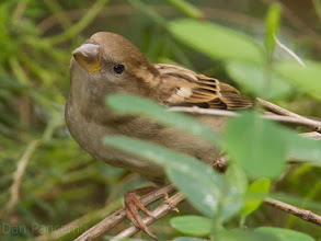 Photo: ? Sparrow