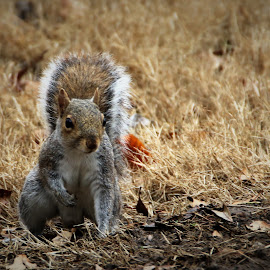 Squirrel! by Jak Conrad - Novices Only Wildlife ( wild, critter, wildlife, mammal, squirrel, animal )