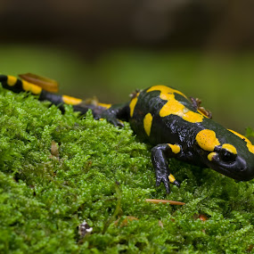 Fire Salamander by Jürgen Mayer - Animals Amphibians ( fire salamander, salamander, nature, amphibie, amphibian, tier, natur, amphibien, feuersalamander, animal )