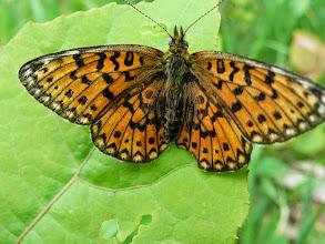 Photo: Chráněný motýl hnědásek
