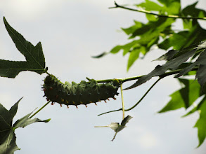 Photo: Caterpillar hanging on a branch at Cox Arboretum in Dayton, Ohio.