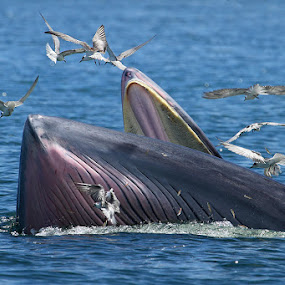 Bryde's whale ll by Sasi- Smit - Animals Other